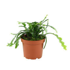 Epiphyllum angulier fishbone' : d.12cm