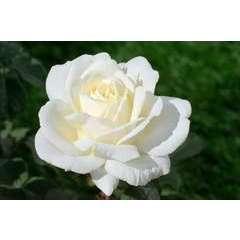 Rosier buisson blanc 'Jeanne Moreau®' Meidiaphaz : en motte