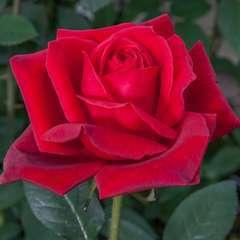 Rosier buisson rouge 'Jubilé Papa Meilland®' Meiceazar : en motte