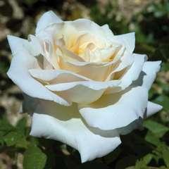 Rosier buisson blanc rose 'Jardins de Bagatelle®' Meimafris : en motte
