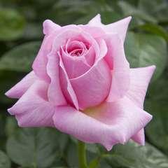Rosier buisson rose 'Pink Eureka®' Meiagadou : en motte