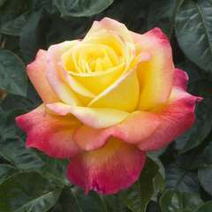 Rosier grimpant rose 'Pullman Orient Express®' Baipeacesar : en motte