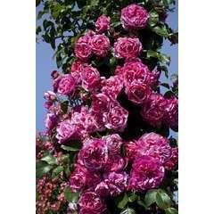 Rosier grimpant blanc rose 'Ines Sastre®' Meiteratol : en motte
