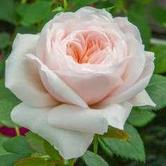 Rosier grimpant rose 'Sabrina®' Meiptorius : en motte