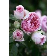 Rosier grimpant mini rose 'Pierre De Ronsard®' Meibigboni : en motte