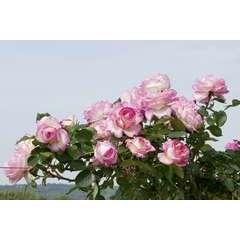 Rosier grimpant blanc rose 'Princesse de Monaco®' Meibergamu: en motte