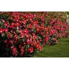 Rosier buisson rouge 'Candia Meillandecor®' Meiboulka : en motte