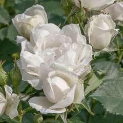 Rosier buisson blanc 'Crème Chantilly®' Meiradena : en motte