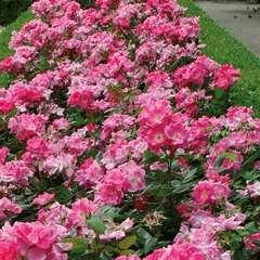 Rosier buisson rose 'Rodin®' Meigadraz : en motte