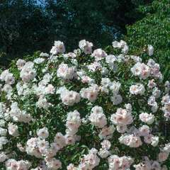 Rosier couvre-sol blanc rose 'Ice Meillandecor®' Meivahyn : en motte