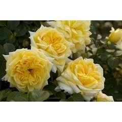 Rosier buisson jaune 'Nadia Meillandecor®' Meibalnéo : en motte