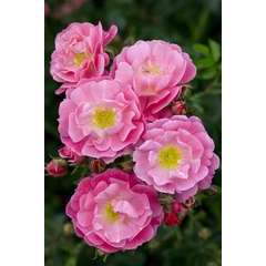 Rosier couvre-sol rose 'Magic Meillandecor®' Meibonrib : en motte