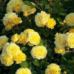 Rosier buisson jaune 'Anny Duperey®' Meitongas : en motte