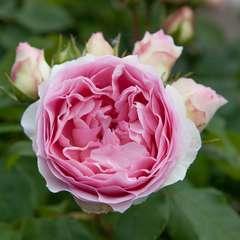 Rosier buisson blanc rose 'Sophia Romantica®' 'Meisselpier' : en motte