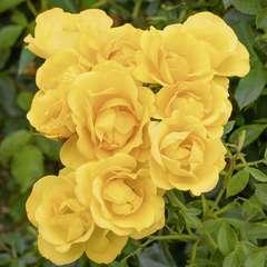 Rosier buisson jaune 'Rayon de Soleil®' 'Meianycid' : en motte