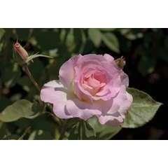 Rosier buisson blanc rose 'Charles Aznavour®' 'Meibeausai' : en motte