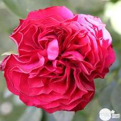 Rosier buisson rouge 'Mona Lisa®' 'Meilyxir' : en motte
