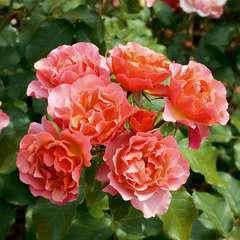 Rosier buisson orange rose 'Jean Cocteau® 'Meikokan' : en motte
