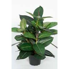 Ficus robusta artificiel en pot H 40 cm feuillage tergal Superbe