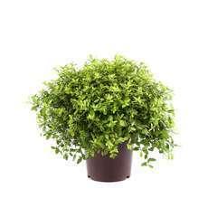 Pittosporum tenuifolium 'Golf Ball' : C7.5L