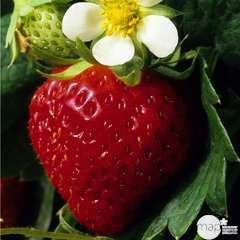 Plants de fraisiers 'Charlotte' bio : barquette 4 plants
