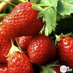 Plants de fraisiers 'Mara des Bois' bio : barquette 4 plants