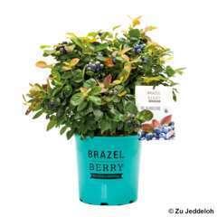 Myrtillier BrazelBerry® 'Peach Sorbet®' : pot de 6,5 litres