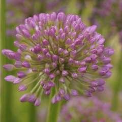 Allium Millenium :  C2L
