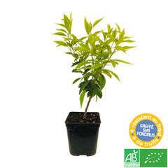 Mandarinier : C3L, Agriculture Biologique