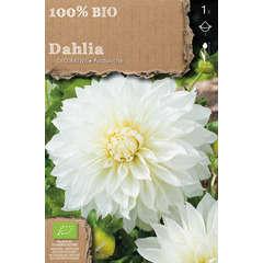 Bulbe de dahlia décoratif 'Avalanche' bio - x1