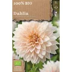 Bulbe de dahlia décoratif 'Café' bio - x1