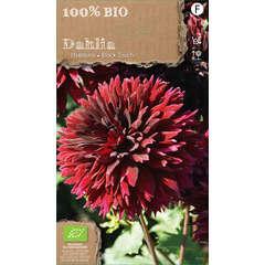 Bulbe de dahlia fimbriata 'Black' bio - x1
