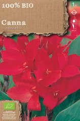 Bulbe de canna indica 'Red Dazler' - x1