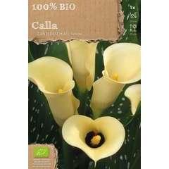 Bulbe de zantedeschia jaune bio - x1