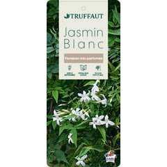 Jasminum officinale Truffaut : C6L