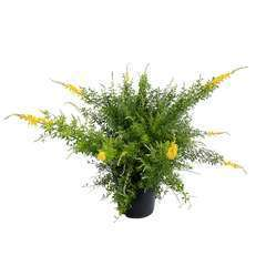 Genista racemosa : pot 15L