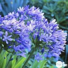 Agapanthe bleue C2L