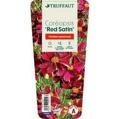 Coreopsis 'Red Satin':conteneur 2 litres