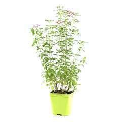 Salvia arbustive : C2L