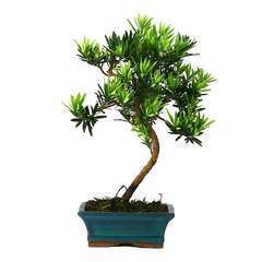 Bonsaï Podocarpus : 5-6 ans