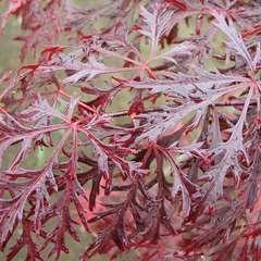 Acer japonicum 'Dissectum Garnet' : 10 litres
