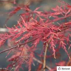 Acer Palmatum Emerald Lace : C.10L