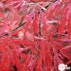 Acer japonicum Inaba Shidare: 10 L