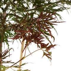 Acer Palmatum : C.16L XL Greffe