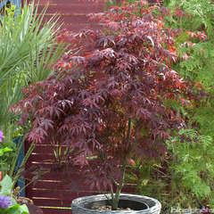 Acer palmatum : variétés variables, greffé C5L