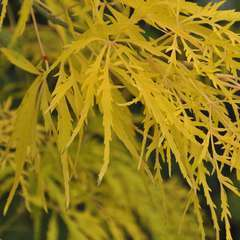 Acer Palmatum Flavescens : C. 5L
