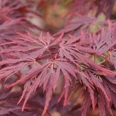 Acer japonicum Red Dragon: 5 L