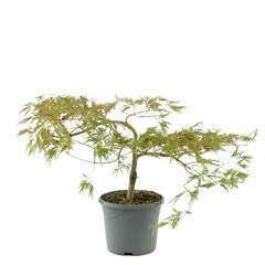 Acer japonicum Viridis :ctr 5L