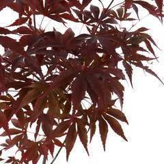 Acer japonicum Fire Glow :  5 L