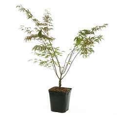 Acer palmatum 'Shirazz' :5 L